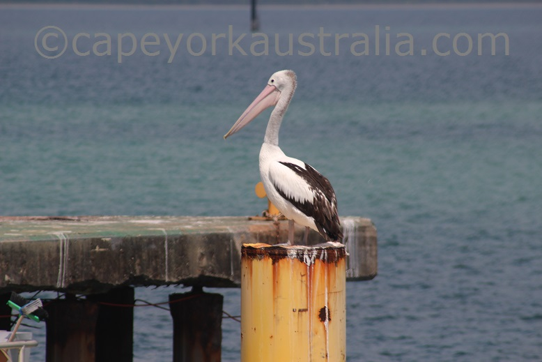 weipa pelican