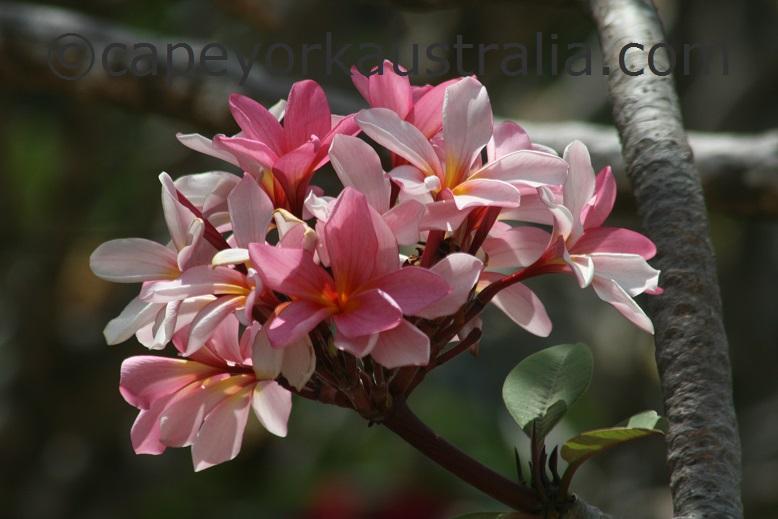 cape york frangipani