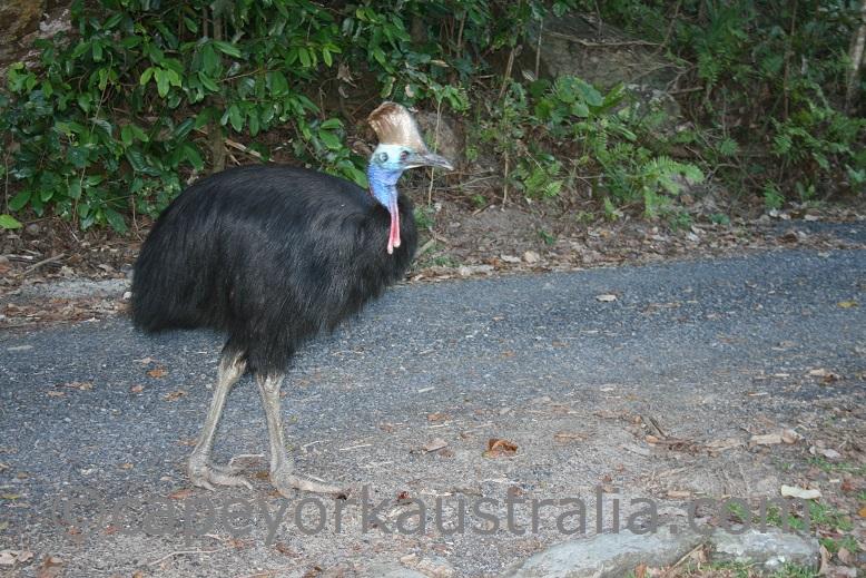 cassowary bird