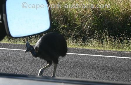 cassowary threathened