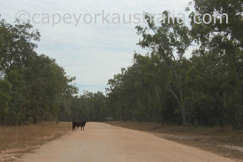 cattle driving hazard