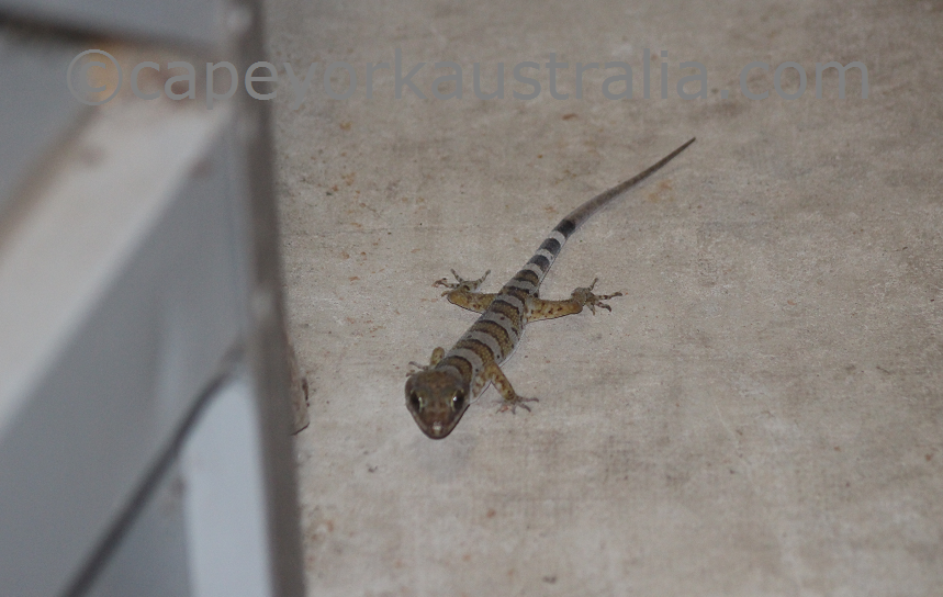 cooktown gecko