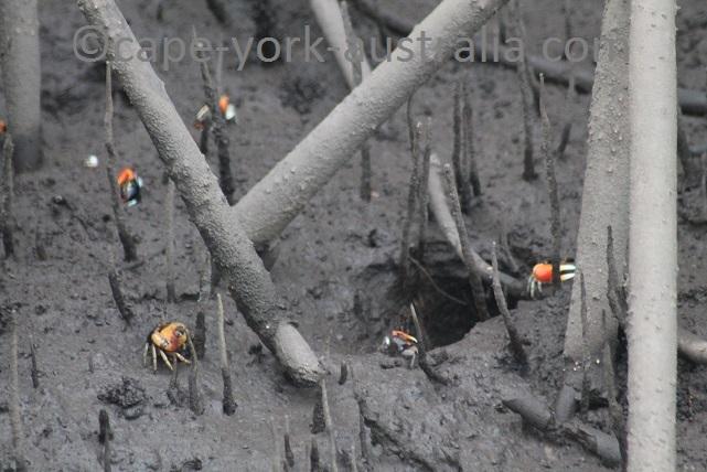 mangrove crabs