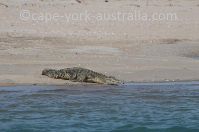 crab island saltwater crocodile