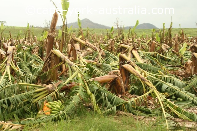 cyclone larry banana field