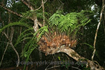 daintree plants