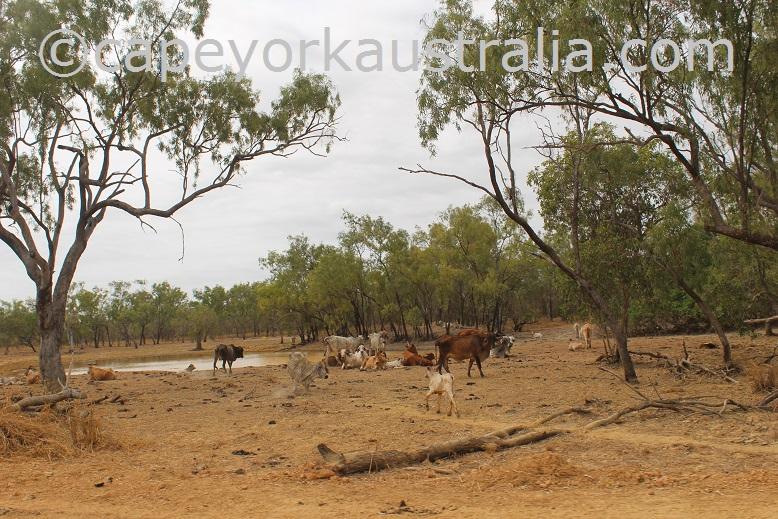 dixie koolatah road cattle