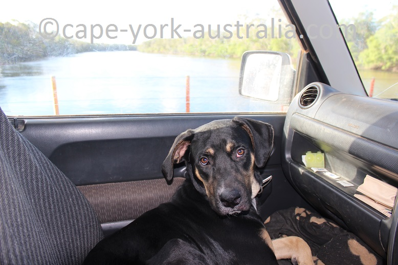 dog cape york