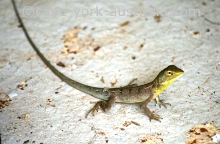 dragon lizards