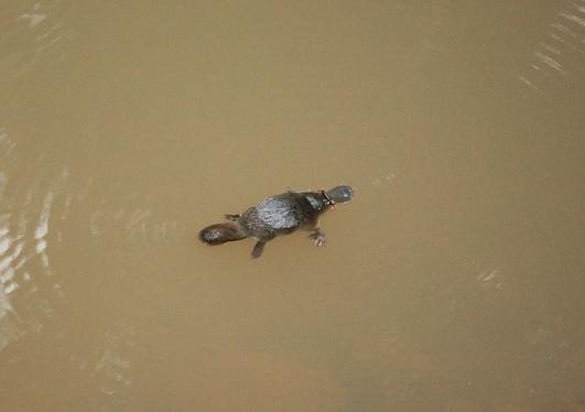 duck billed platypus