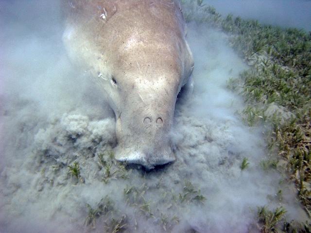 dugong habitat