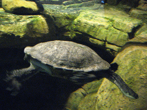 eastern snake necked turtle