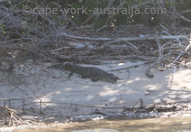 endeavour river crocodile