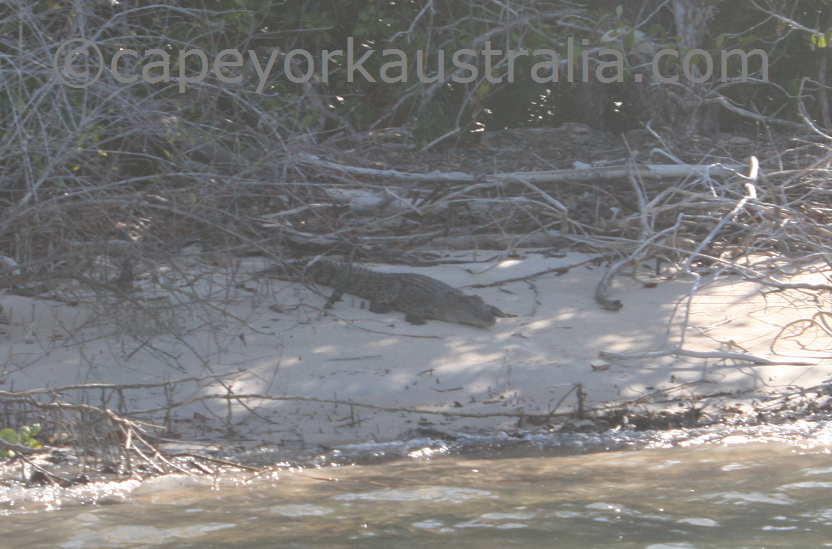 endeavour river crocodile