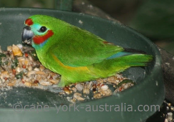 fig parrot