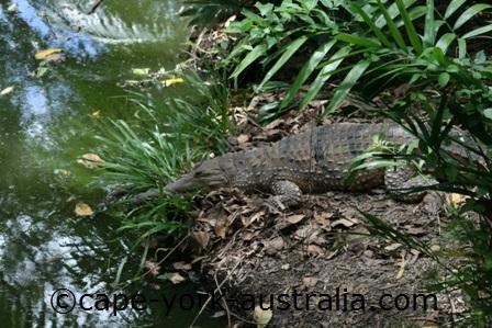 freshwater crocodile eating