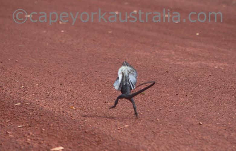 frilled lizard running