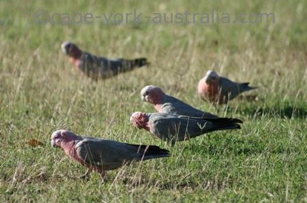 galahs flock