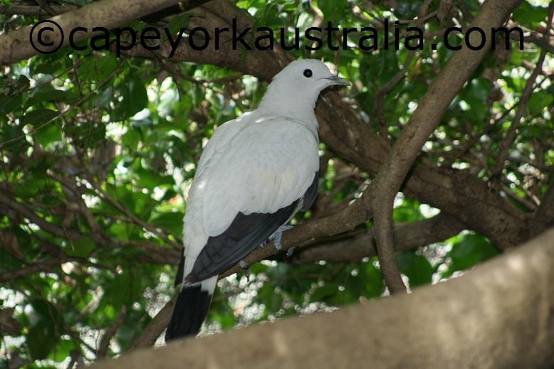 jardine river np imperial pigeon