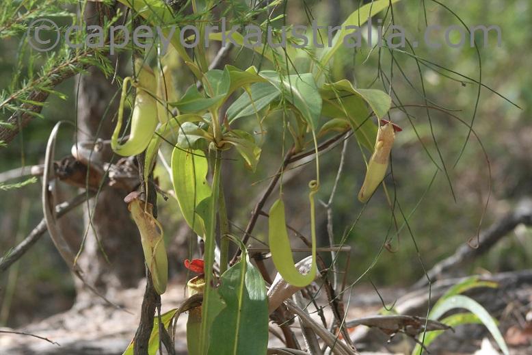 jardine river np pitcher plants