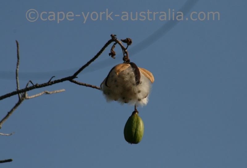 kapok tree cotton plant