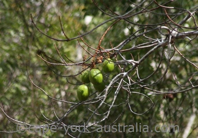 kapok tree fruits