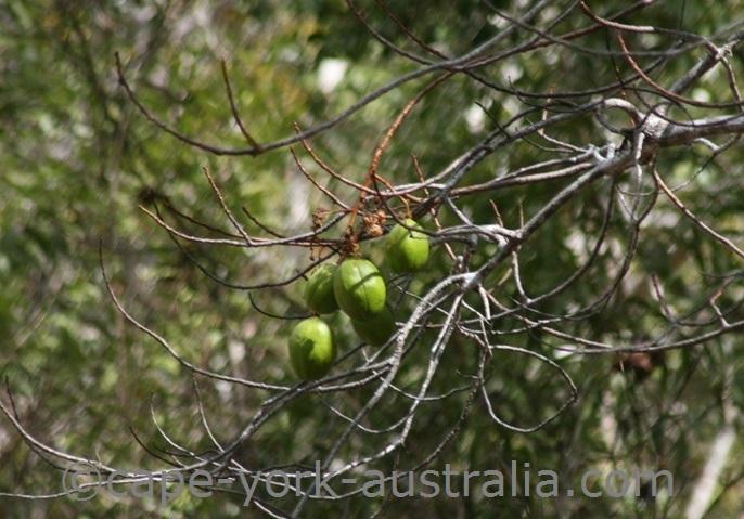 kapok tree fruits