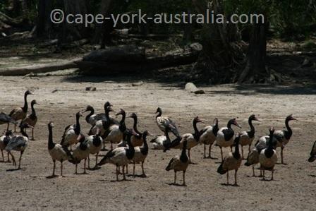 keatings lagoon magpie geese