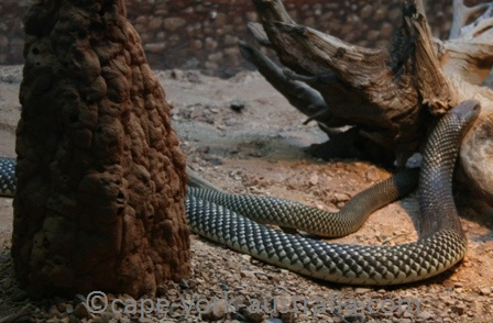king brown snake