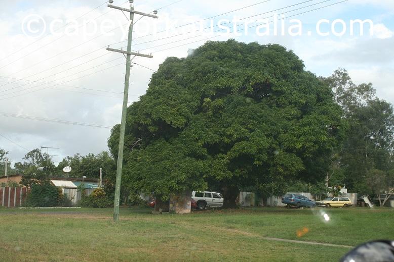 koah mango tree