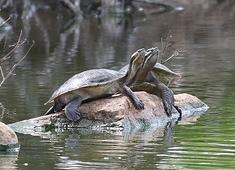 kreffts turtles
