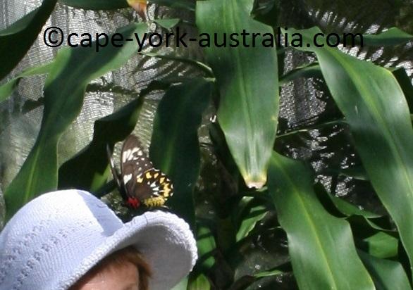 cairns birdwing female
