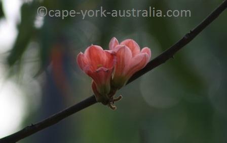 kurrajong flower