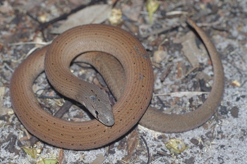 legless lizards