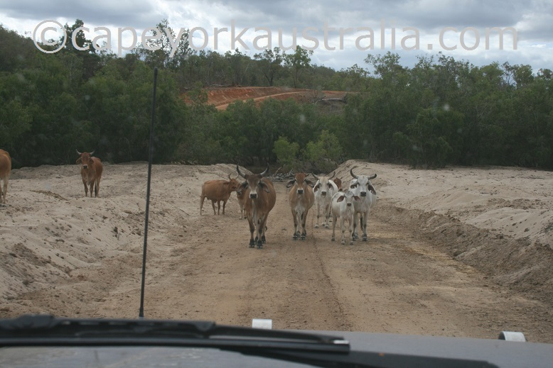 maytown to palmerville road cattle station