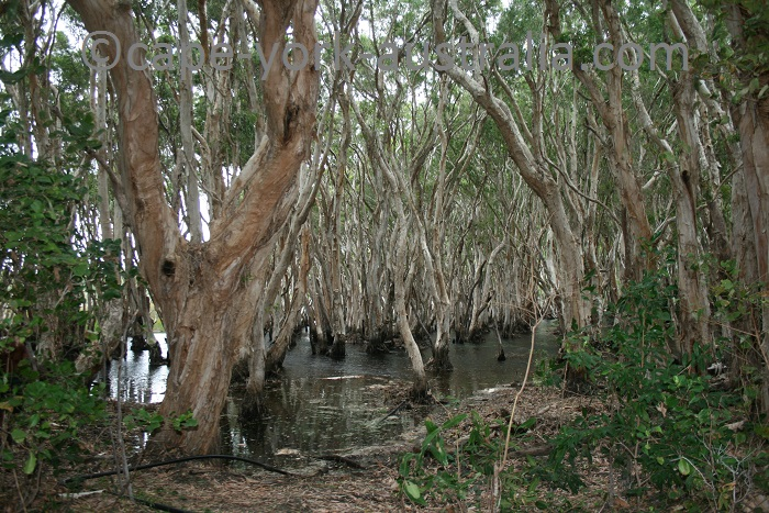 melaleuca swamp