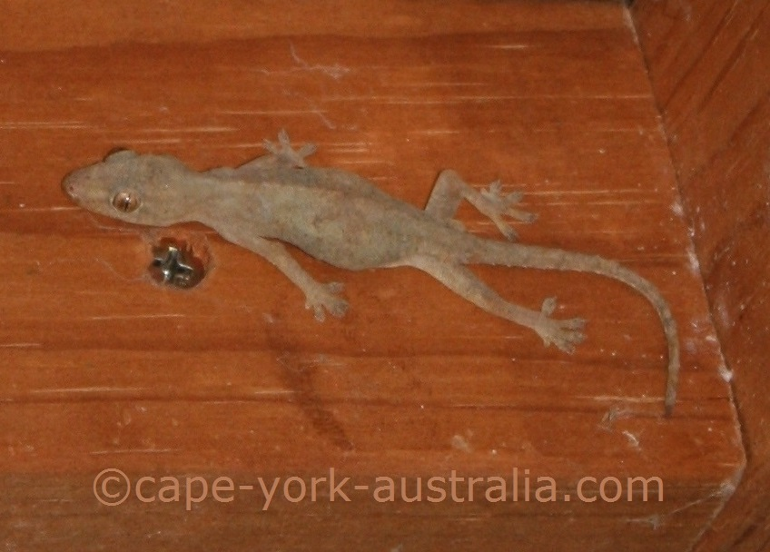 native house gecko