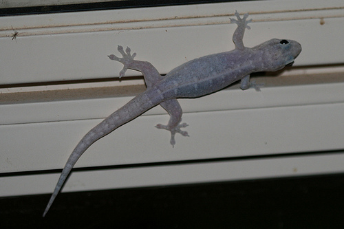 native house gecko