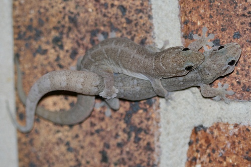 native house geckos