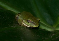 northern dwarf tree frog