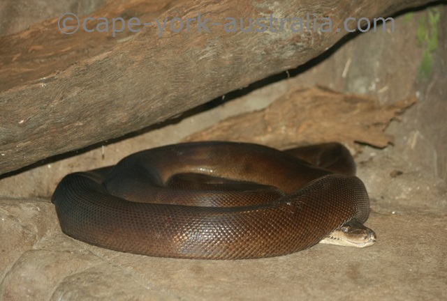 olive python coiled