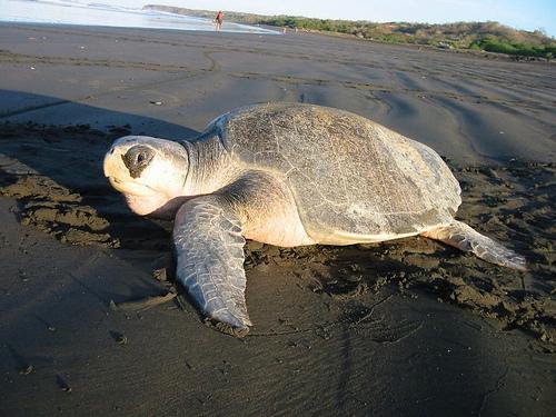 olive riddle turtle