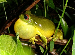 orange eyed tree frog