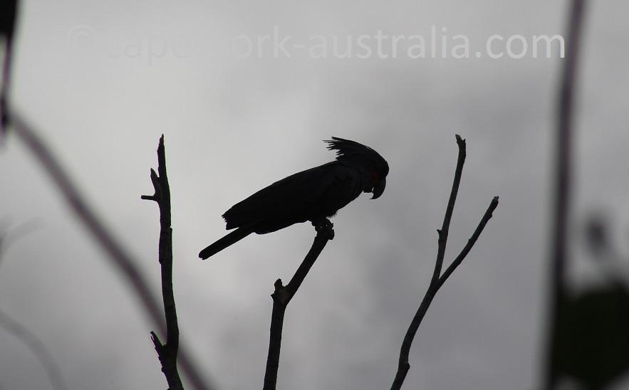 palm cockatoo endangered