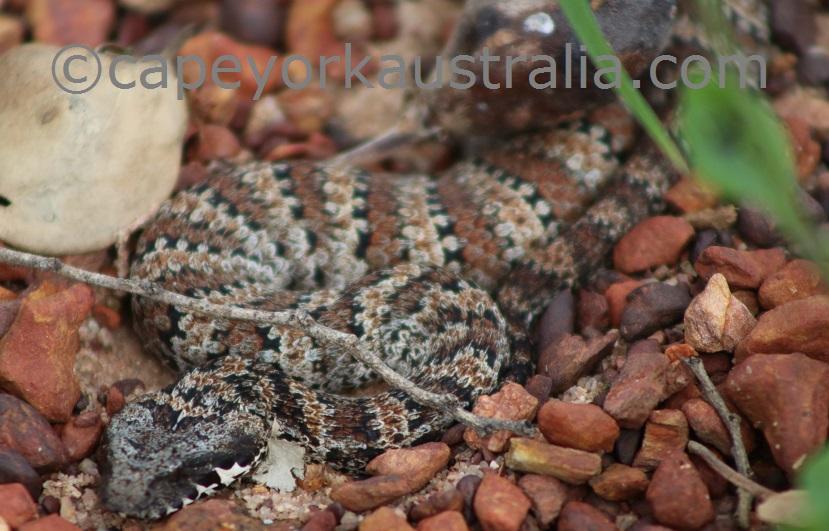 poisonous snakes