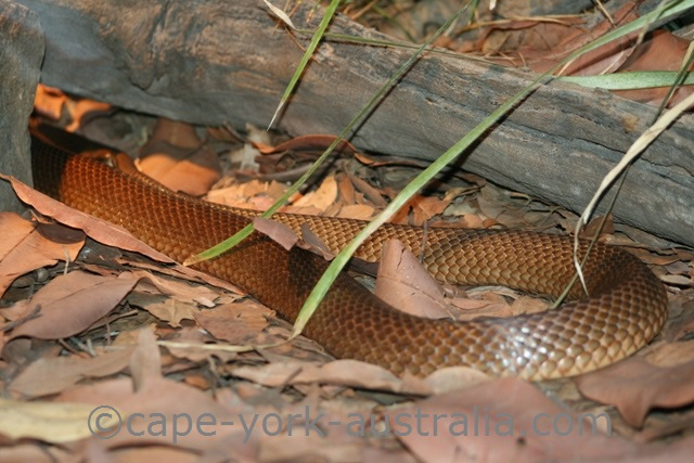 Poisonous Snakes in Cape York