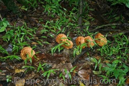 rainforest fungi