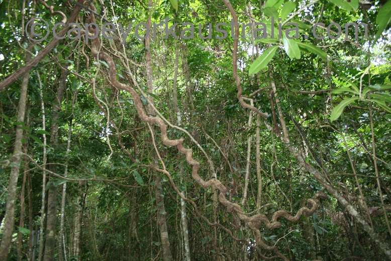 rainforest vines
