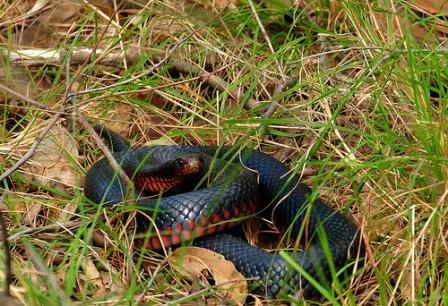 Red Bellied Black Snake Red Bellied Black Snake