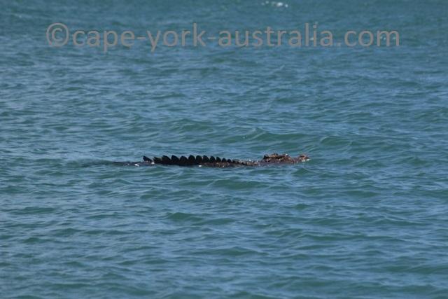 sharp point crocodile